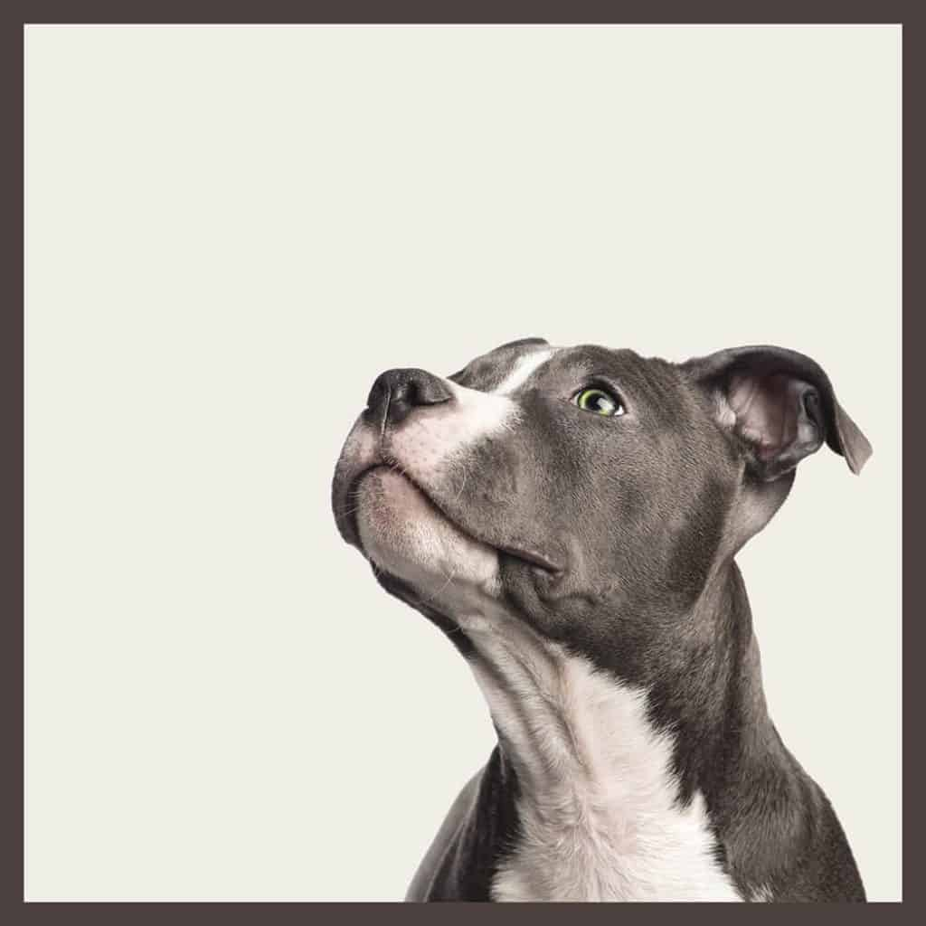 Metallic tinted american staffordshire pet portrait by DIG53.