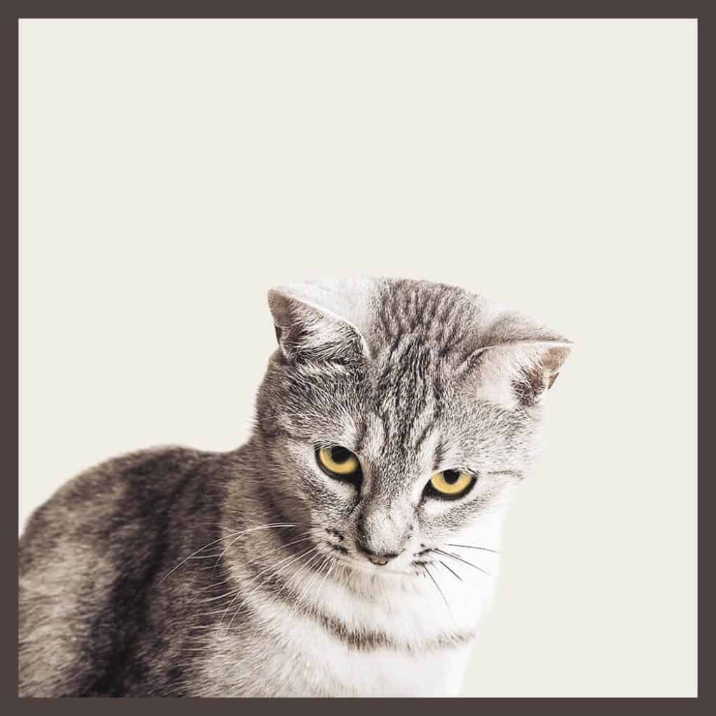Photo of a cat. Metallic tinted gold eyed cat.