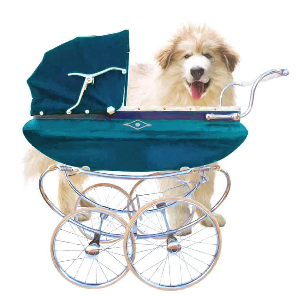Photo of shaggy dog standing behind baby stroller. Protecting the baby.