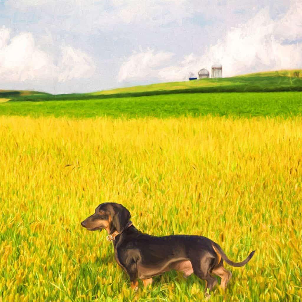 Dachshund dog standing in grass field.